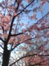 Sakura_2011